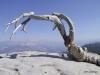 Dead Jeffrey Pine tree, Sentinel Dome, Yosemite National Park
