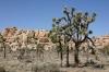 Joshua Tree N.P. -- Joshua trees & desert