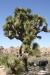 Joshua Tree N.P. -- Joshua tree