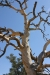 Joshua Tree N.P. -- Dead tree