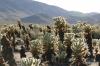 Joshua Tree N.P. -- Cholla Cactus Garden