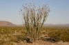 Joshua Tree N.P. -- Ocotillo Patch