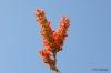 Joshua Tree N.P. -- Ocotillo Blossom