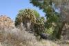 Joshua Tree N.P. -- Cottonwood springs
