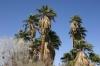 Joshua Tree N.P. -- Oasis of Mara