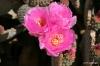 Joshua Tree N.P. -- Cactus blossoms
