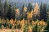 Larches in fall color, Highwood pass