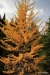 Larches in their fall colors