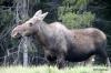 Moose, Kananaskis country