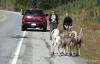 Bighorn sheep on road, Kananaskis country
