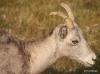 Bighorn sheep ewe, Kananaskis country