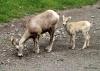 Bighorn sheep, Kananaskis country