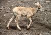 Bighorn sheep lamb, Kananaskis country