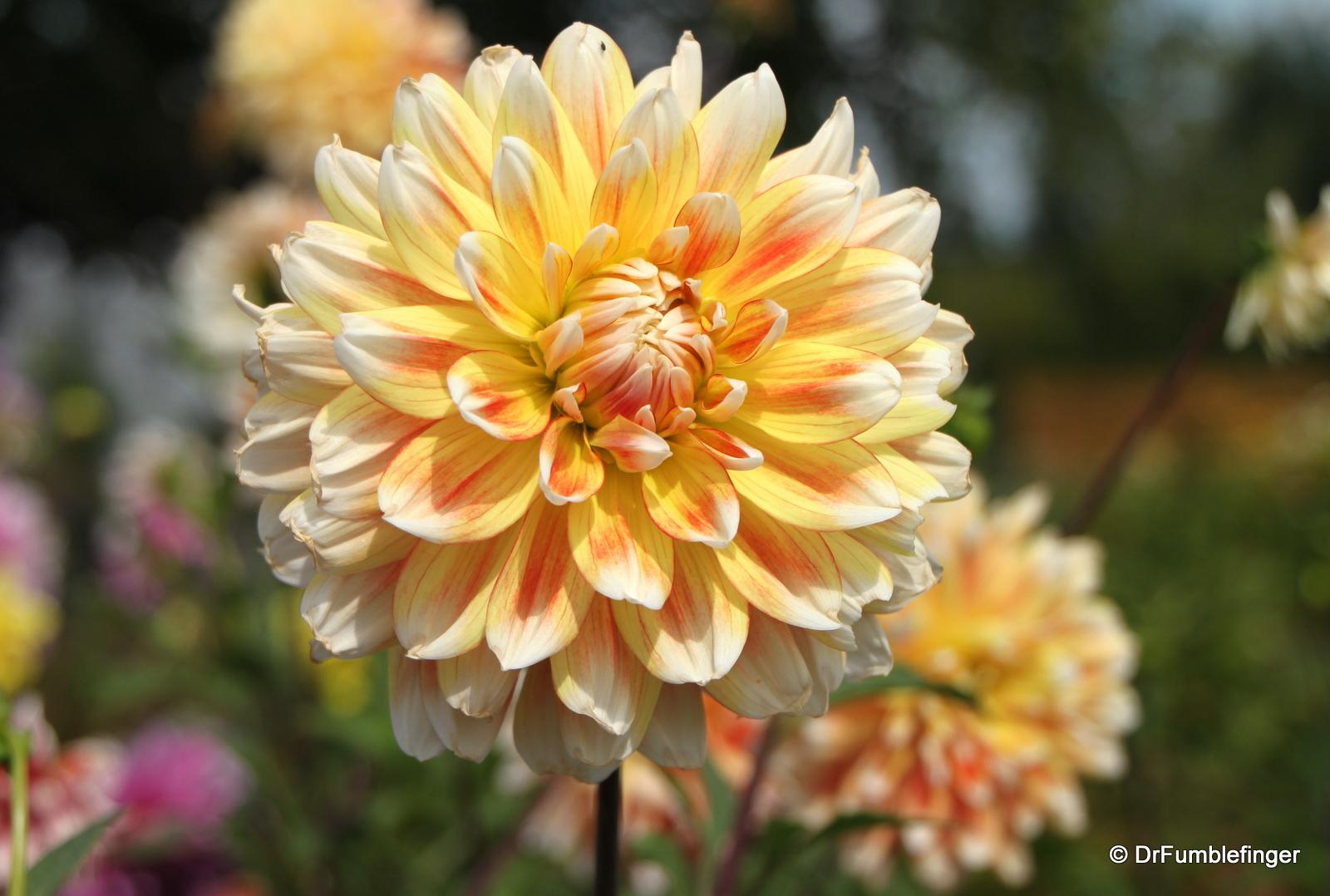 Dahlias, Cominco Gardens, Kimberley