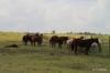 Horses at Parker Ranch, Waimea