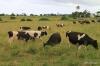 Cattle & pastureland, Hawi