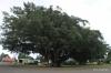 Banyon trees, Hawi
