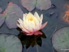 Water Lily in a Koi Pond, Newport Beach