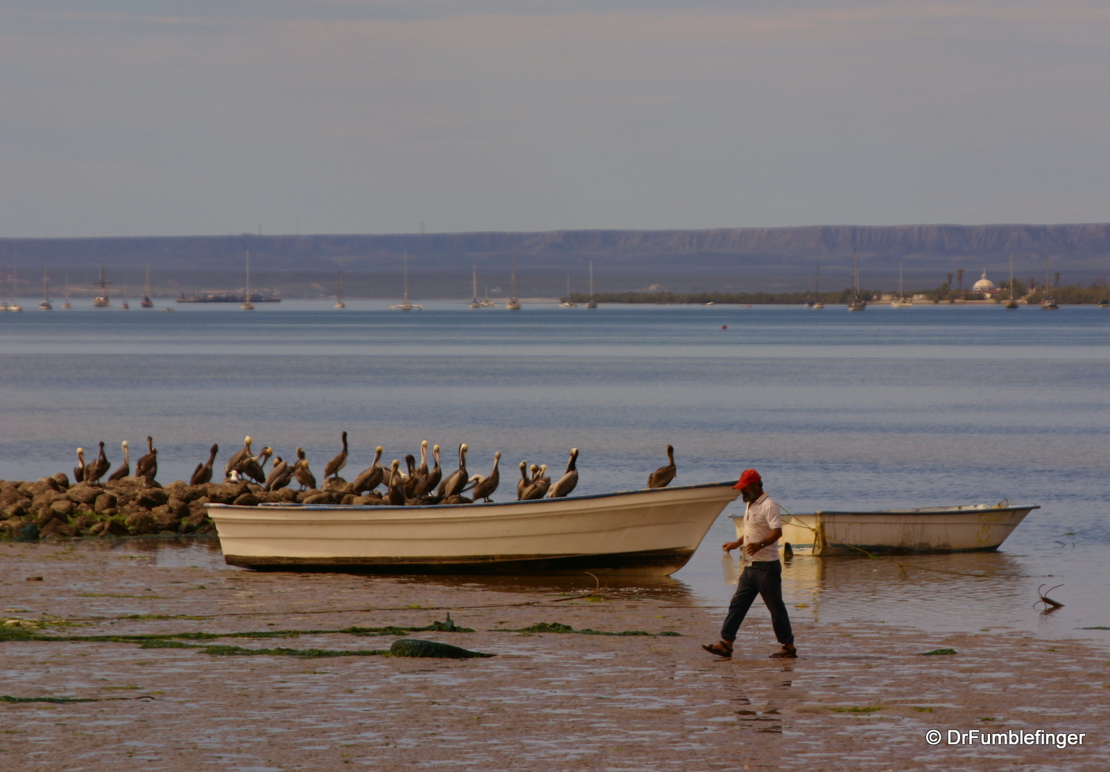Fisherman & pelicans, La Paz' harbor