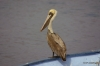 Pelicans, La Paz' harbor