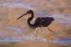 Wading bird, La Paz harbor