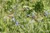 Wildflowers, Plain of Six Glaciers