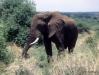 Elephant -- Lake Manyara