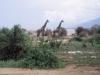 Giraffe -- Lake Manyara