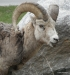 Bighorn Sheep Ram, Two Jack Lake