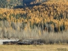 Larches in their fall colors, Elk River Valley, British Columbia