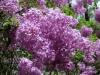 Lilac Garden, Spokane