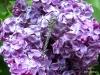 Dragon Fly, Lilac Garden, Spokane