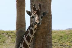 Living Desert Museum. Palm Desert. Giraffes