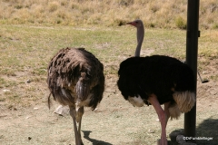 Living Desert Museum. Palm Desert. Ostriches