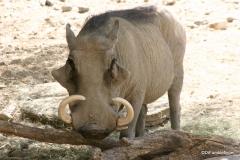 Living Desert Museum. Palm Desert. Warthog
