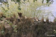 Living Desert Museum. Palm Desert. Leopard