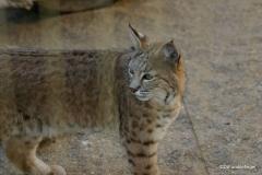Living Desert Museum. Palm Desert. Lynx