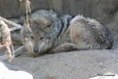 Living Desert Museum. Palm Desert. Mexican wolf