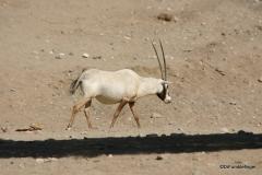 Living Desert Museum. Palm Desert. Arabian Oryx