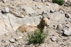 Living Desert Museum. Palm Desert. Bighorn Sheep