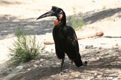 Living Desert Museum. Palm Desert. Hornbill