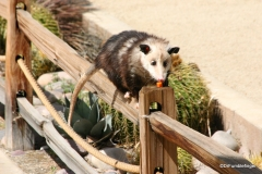 Living Desert Museum. Palm Desert. Possum