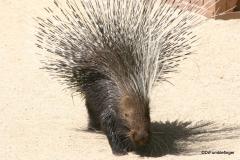 Living Desert Museum. Palm Desert. Porcupine