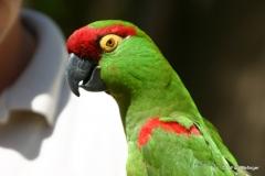 Living Desert Museum. Palm Desert. Thick-billed parrots