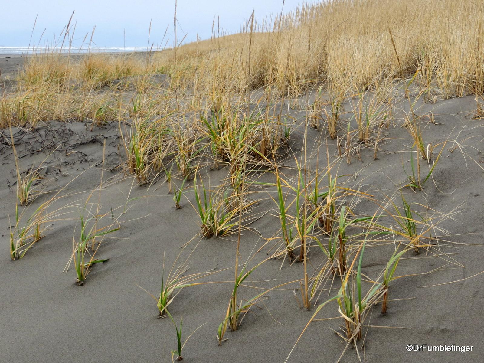 Grassy dunes, Long Beach, Washington.