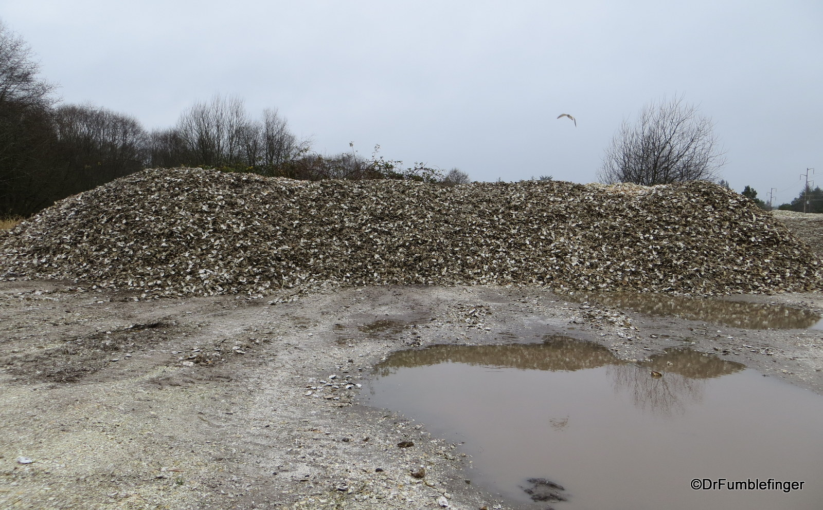 Pile of oyster shells, Oysterville
