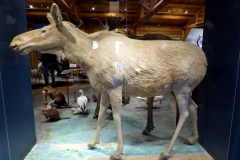 Albino Moose, MacBride Museum, Whitehorse