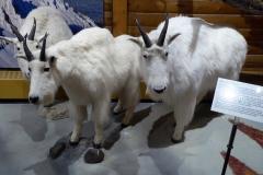 Mountain Goats, MacBride Museum, Whitehorse