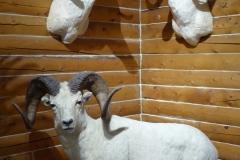 Dall Sheep, MacBride Museum, Whitehorse