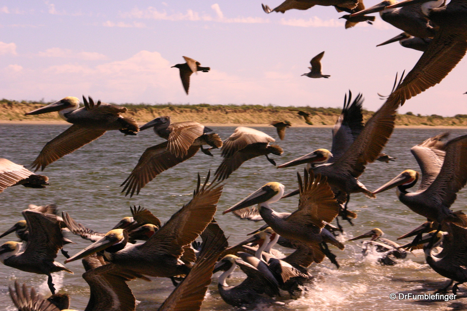 Pelicans taking flight,, Magdalena Bay
